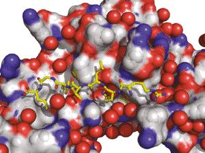 Peptide interaction in the bipartite pocket of E. coli