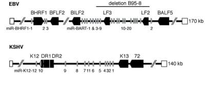 Genomic localization of EBV and KSHV miRNAs