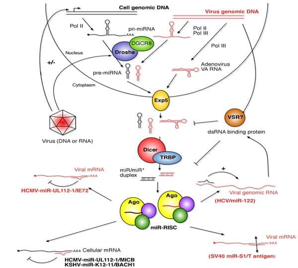 Interactions between viruses and RNA silencing pathways