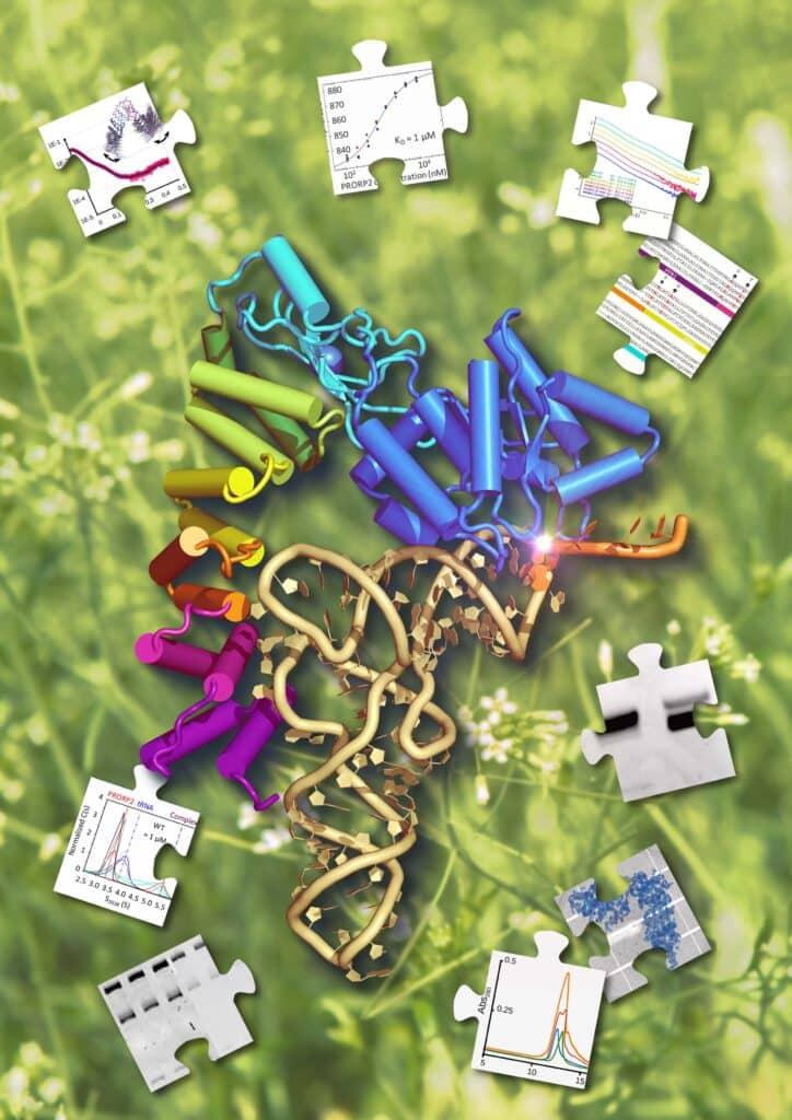 Étude du complexe PRORP2 : ARNt d'Arabidopsis thaliana par une approche structurale intégrée