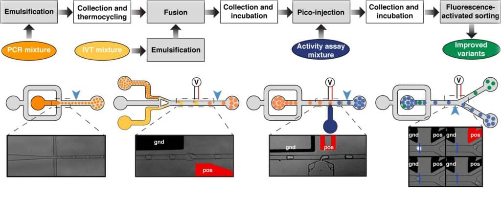 Typical microfluidic-assisted screening workflow used to selected rare improved catalysts contained in a mutant library