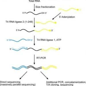 Small RNA cloning protocol